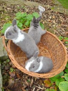 bébés lapins dans le potager